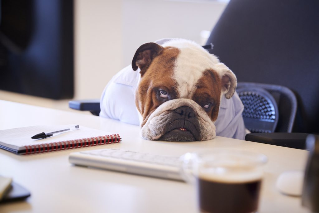 Bored bulldog at a computer desk