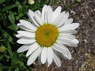 a Shasta daisy