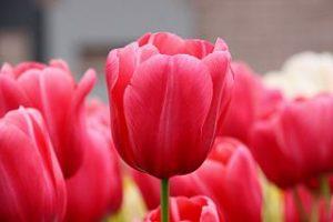 Tulips Wiki Commons