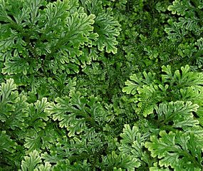 "Selaginella lepidophylla - the common name is ""spikemoss"""