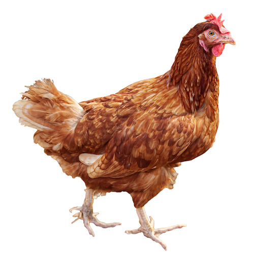A brown hen isolated on white background.